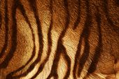 stock photo of fuzz  - Tiger Texture - JPG