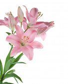 Постер, плакат: Красивый розовый Лили изолирован на белом