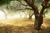 picture of olive trees  - Olive Trees - JPG