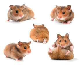 picture of gerbil  - Funny Hamsters Collection - JPG