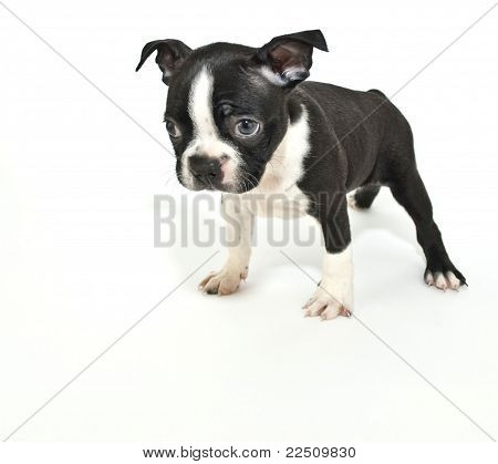 """Boston Terrier Puppy Saying """"i'm Sorry""""."""
