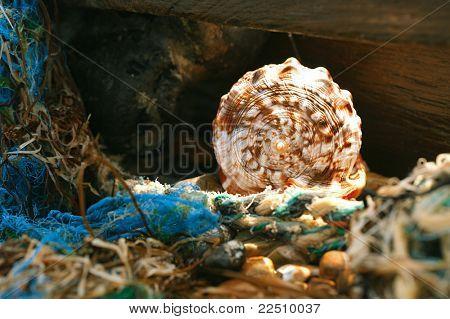 cassis rufa seashell in tidepool, shallow dof