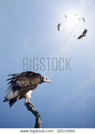 Conceptual - Vultures waiting to prey on innocent victims (digital composite)