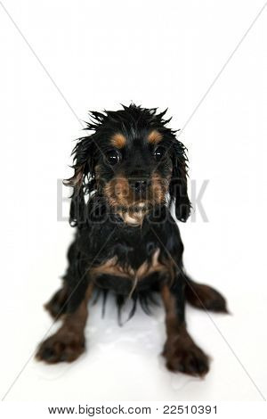 Marmaduke black and tan cachorro de Cavalier King Charles spaniel obtiene un baño