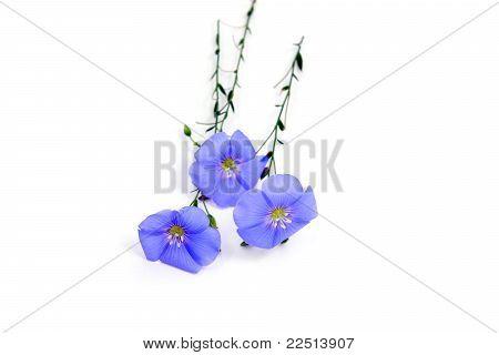 Linum Usitatissimum Flowers