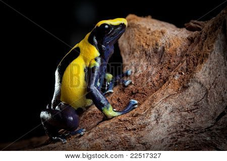poison dart frog with bright blue yellow colors a real jewel of the amazon rain forest. Dendrobates tinctorius. Exotic pet animal in terrarium.