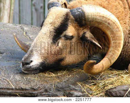 Barbado Sheep On Rocks
