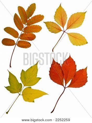 Hojas de otoño cuatro aislado en fondo blanco
