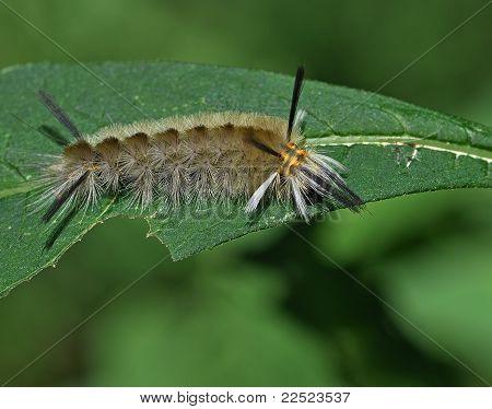 Anilhas Tussock mariposa lagarta (Halysidota tessellaris)