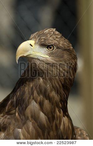 Porträt von einem Seeadler