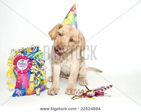 Funny Birthday Lab Puppy