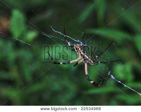 Black & Yellow Argiope Spider (Argiope aurantia)