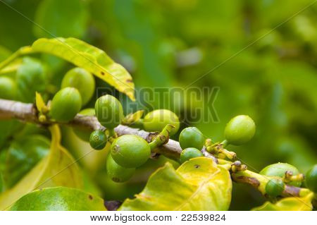 Organic Coffee Beans Ripening On Plant