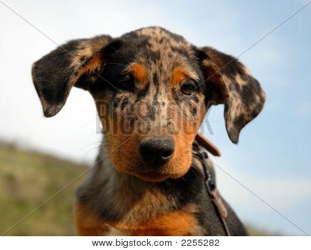 Pup French Shepherd