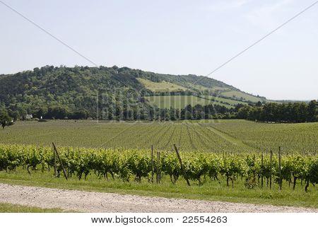 English Vineyard In Surrey. UK