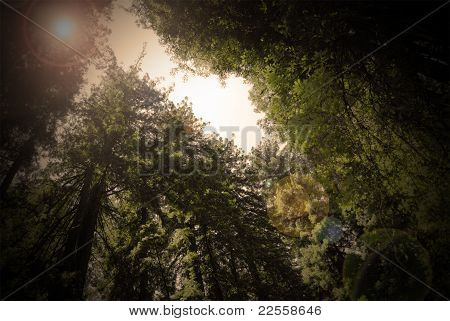 Redwood Forest California