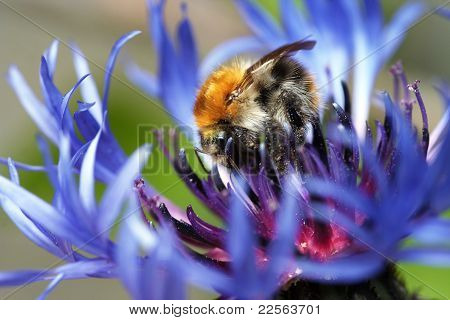 Bumble Bee In Bloom
