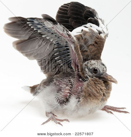 Fledgling Pigeon With Wings Raised