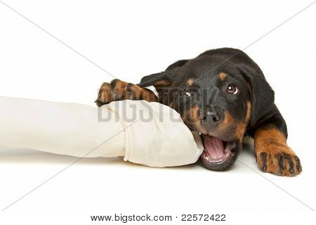Rottweiler Puppy With A Huge White Bone