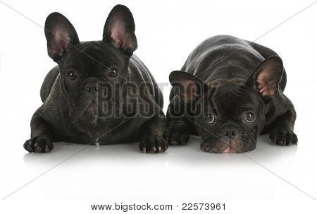 litter mates - two french bulldogs isolated on white background