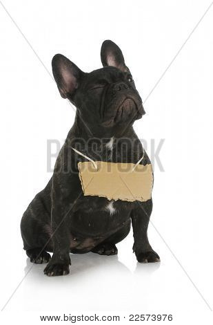dog winking - french bulldog winking while wearing cardboard sign around neck on white background