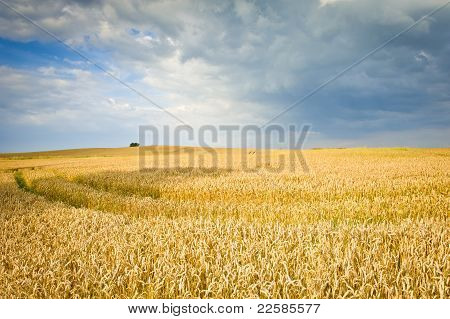 Ecological Corn Field