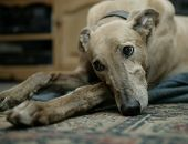 Greyhound Resting On Carpet In Close Up poster