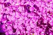 Summer Lilac Flowers Blooming In The Sunny Garden, Summer Flower Background. Closeup Of Summer Lilac poster