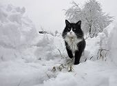 A Terrible Cat On The Winter Trail. Black And White Cat With A Serious Look. Portrait Of A Cat poster