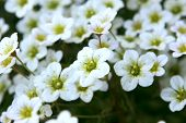 stock photo of musky  - A Musky Saxifrage  - JPG