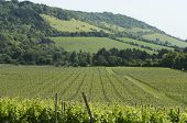 stock photo of dork  - Vineyard at Dorking - JPG