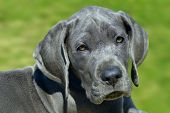picture of great dane  - Beautiful puppy of great dane - JPG