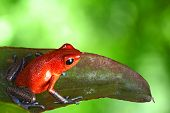 stock photo of dart frog  - red poison dart frog sitting on leaf with copy space - JPG
