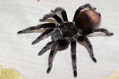 Spider Tarantula Brachypelma Vagans poster