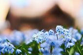 Image Of Scandinavian Spring With Beautiful Blue Scilla Siberica Also Known As Siberian Or Wooden Sq poster