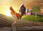 pic of sun perch  - Rooster perched upon a farm fence post as the sun rises behind him - JPG
