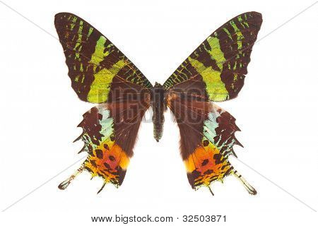 Madagascan sunset moth (Chrysiridia rhipheus) butterfly isolated on white