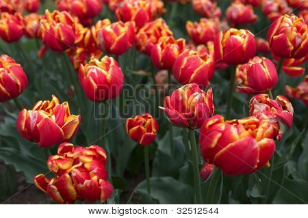 Flower bed full of tulip