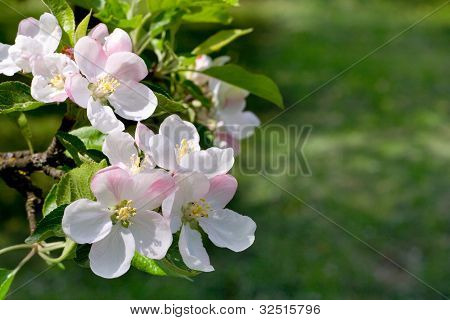 Blossoms apple tree
