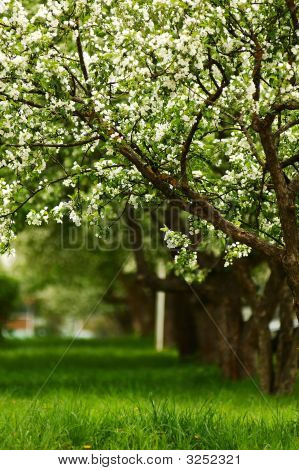 Line Of Blossoming Apple Trees