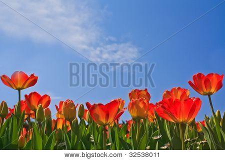 Glowing Orange Tulips