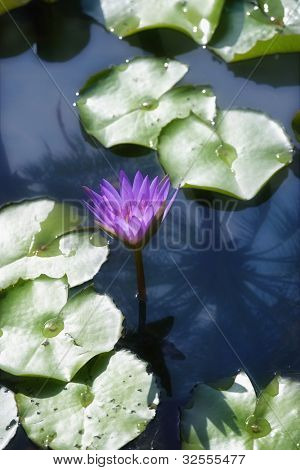 Close up of purple lily and lily pads