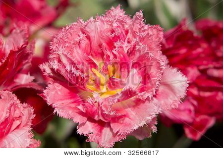 Puple Fringe Tulip
