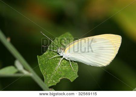 Branco Crataegi na natureza