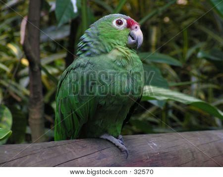 Papagei-Kolumbien