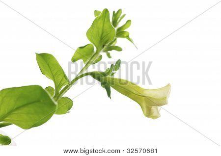 petunia pendula flower