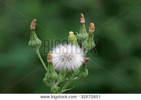 Ixeris Chinensis