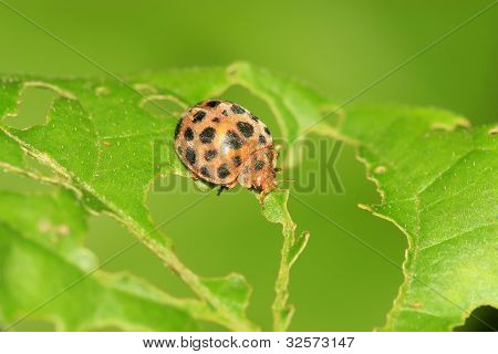Ladybug On Green Leaf In The Wild