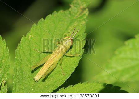 Locust On Green Leaf