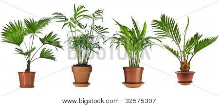 Livistona Rotundifolia, Howea , Chrysalidocarpus lutescens  , Cycas Palm Trees in flowerpot isolated on white background